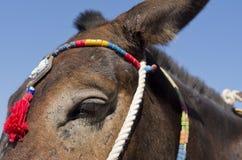 Donkey in Thira. Stock Image