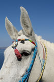 Donkey in Thira. Royalty Free Stock Photography