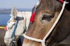 Donkey in Thira. Royalty Free Stock Photo