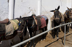 Donkey in Thira. Stock Photography