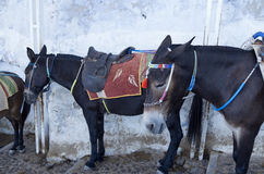 Donkey in Thira. Stock Photo