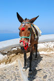 The donkey in Thira Royalty Free Stock Images
