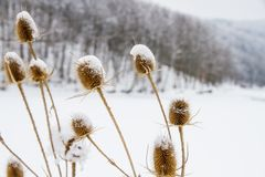Donkey thistle Onopordum acanthium covered with snow in winter. Royalty Free Stock Images