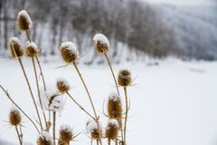Donkey thistle Onopordum acanthium covered with snow in winter. Stock Photo