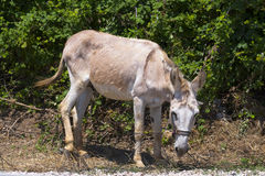 Donkey tied in nature Stock Photography