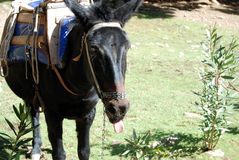 Donkey with a tongue. Donkey puts out a tongue. Ambulance in Samaria gorge Royalty Free Stock Images