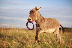 Donkey with toy ring in mouth. Baby donkey playing with a toy ring in its mouth Royalty Free Stock Photography