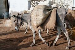 Donkey for transport in Lamu. Kenya Stock Photo