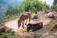 Donkey for transport product on the mountain Royalty Free Stock Photos