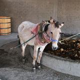 A donkey on the treadmill for production of mescal Royalty Free Stock Images