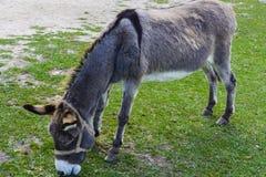 Donkey -  unassuming and very stubborn animals. Donkey - plain, unassuming and very stubborn animals Royalty Free Stock Photo