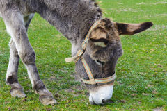 Donkey -  unassuming and very stubborn animals. Stock Images