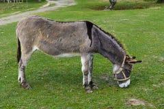 Donkey -  unassuming and very stubborn animals. Royalty Free Stock Photography