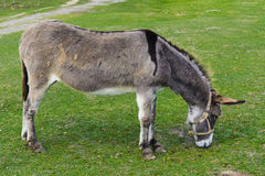 Donkey -  unassuming and very stubborn animals. Royalty Free Stock Images