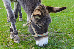 Donkey -  unassuming and very stubborn animals. Royalty Free Stock Image