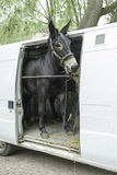 Donkey in van Royalty Free Stock Images