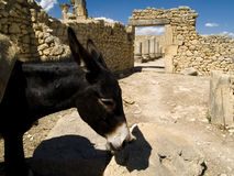 Donkey in Volubilis. Black donkey in the Roman city - Volubilis, Morocco Royalty Free Stock Photo