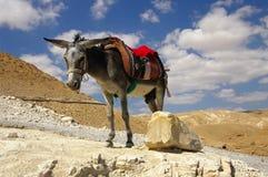 Donkey in Wadi Qelt canyon. Stock Photos