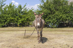 Donkey is waiting for the master Royalty Free Stock Photos