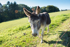Donkey walking on the meadow and eating Stock Photo