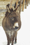 Donkey walking in the snow Royalty Free Stock Image