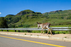 Donkey Walking Valley Road Royalty Free Stock Images