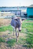 Donkey walks at animal farm countryside Royalty Free Stock Photography