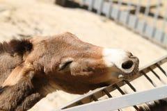 Donkey wants to eat Royalty Free Stock Photo