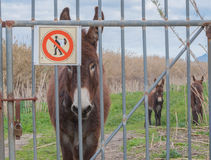 Donkey with warning sign. Royalty Free Stock Photo
