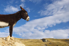 Donkey watching over the horizon Royalty Free Stock Photography