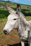 Donkey. White donkey in meadow Royalty Free Stock Photo