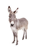Donkey on white royalty free stock images