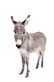 Donkey on white Stock Image