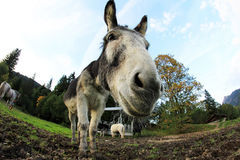 The donkey Royalty Free Stock Photography