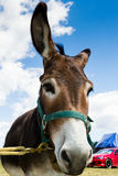 Donkey wiggling ears Royalty Free Stock Image