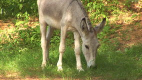 Donkey in the wild stock video footage