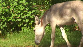 Donkey in the wild stock video