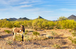 Donkey. Wild Burro in blooming Sonoran Desert stock images
