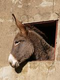 Donkey at the window. Donkey's head that looks through a window of an old rural building royalty free stock photography