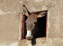 Donkey and window. Donkey's head looking through a window of an old rural building royalty free stock image