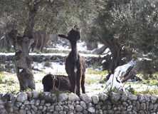 Donkey winter peaceful pasture. Donkey cattle grazes and pasture under olive trees on a rainy day landscape near the village of Deia, in the Spanish Stock Image