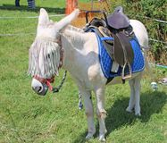 Donkey ready for riding. Donkey wirth saddle ready for a ride Royalty Free Stock Photography