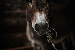 Free Donkey With Hay In Mouth, Chewing Stock Image - 159614451