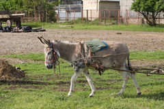 Donkey in work. The grey of a little donkey living in a farm Royalty Free Stock Photo