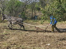 Donkey work hard in the garden Stock Images