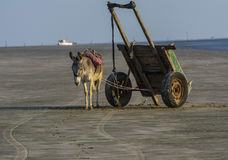 Donkey with worker cart at beach. India Royalty Free Stock Photos