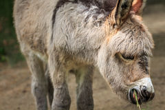 Donkey. Young donkey chewing hay close-up. Animal background Royalty Free Stock Image