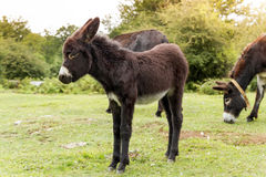 Donkey. Young donkeys eating at meadow Royalty Free Stock Photography