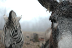Donkey And Zebra Royalty Free Stock Photography