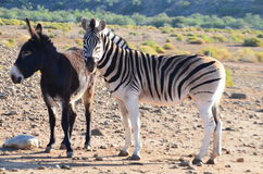 Donkey and zebra. A special friendship between a donkey and zebra in the karoo za stock photo